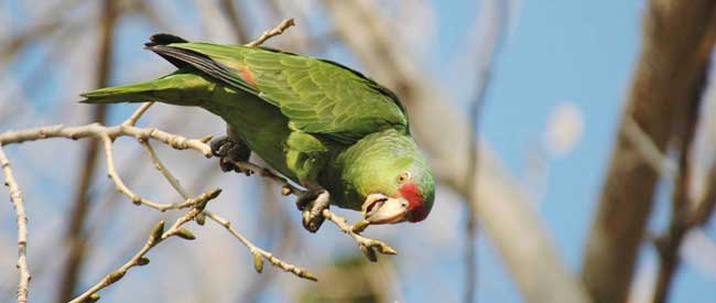 Lilac-crowned Parrot-Amazona finschi-Lindo Lakes-Santee-CA-TA Burr