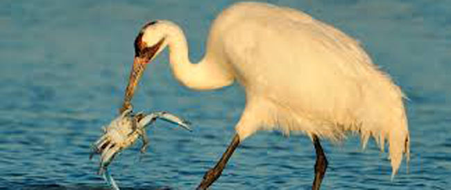 U.S. Army Corps of Engineers and Friends of the Wild Whoopers agree to assist in the recovery of endangered whooping cranes