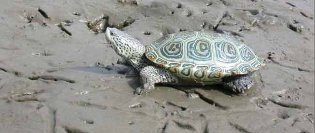 Diamond-backed Terrapin- Malaclemys terrapin - Kiawah Island, SC - J.D. Willson